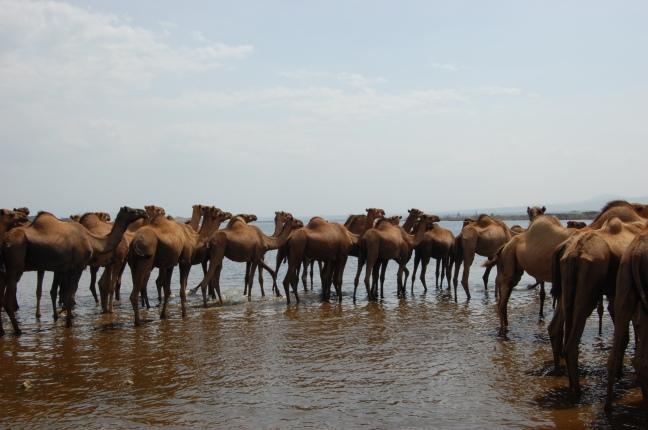 Camels posing again.JPG